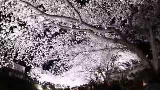 2014野川さくら 野川さくら 動画 15