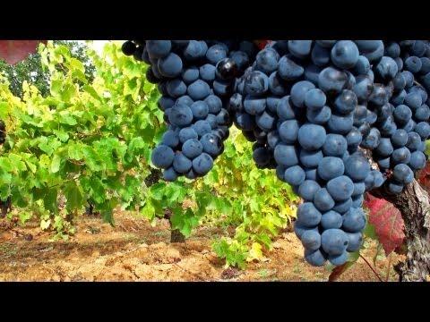 Viñedos españoles - Mejores viñedos - Uva de calidad - Viñas / cepas viejas - Mejores uvas