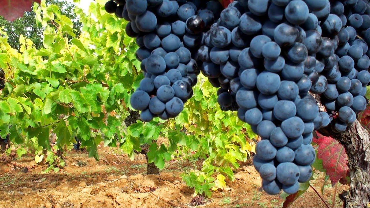 Vi edos espa oles mejores vi edos uva de calidad for Sofas espanoles calidad