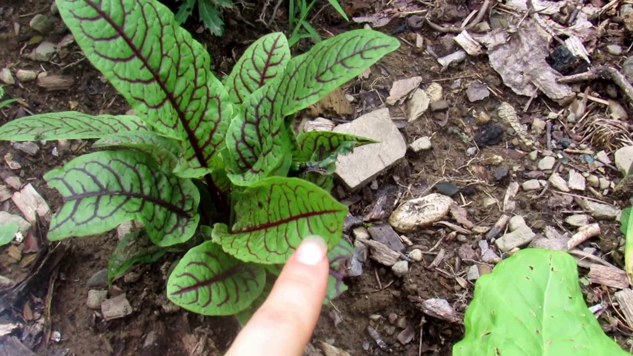 The Perennial Spinach Lettuce Substitute Sorrel Perennial To Zone