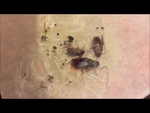 Giant Cockroaches invading my Apartment. American ...