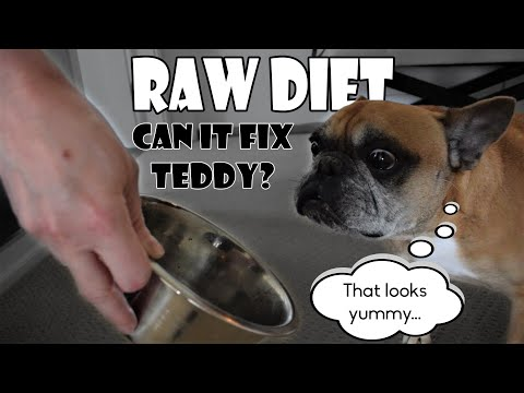 French Bulldog Raw Diet: Bill and Ted Transition Part 1