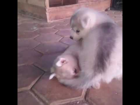 CUTE DOGS FIGHT