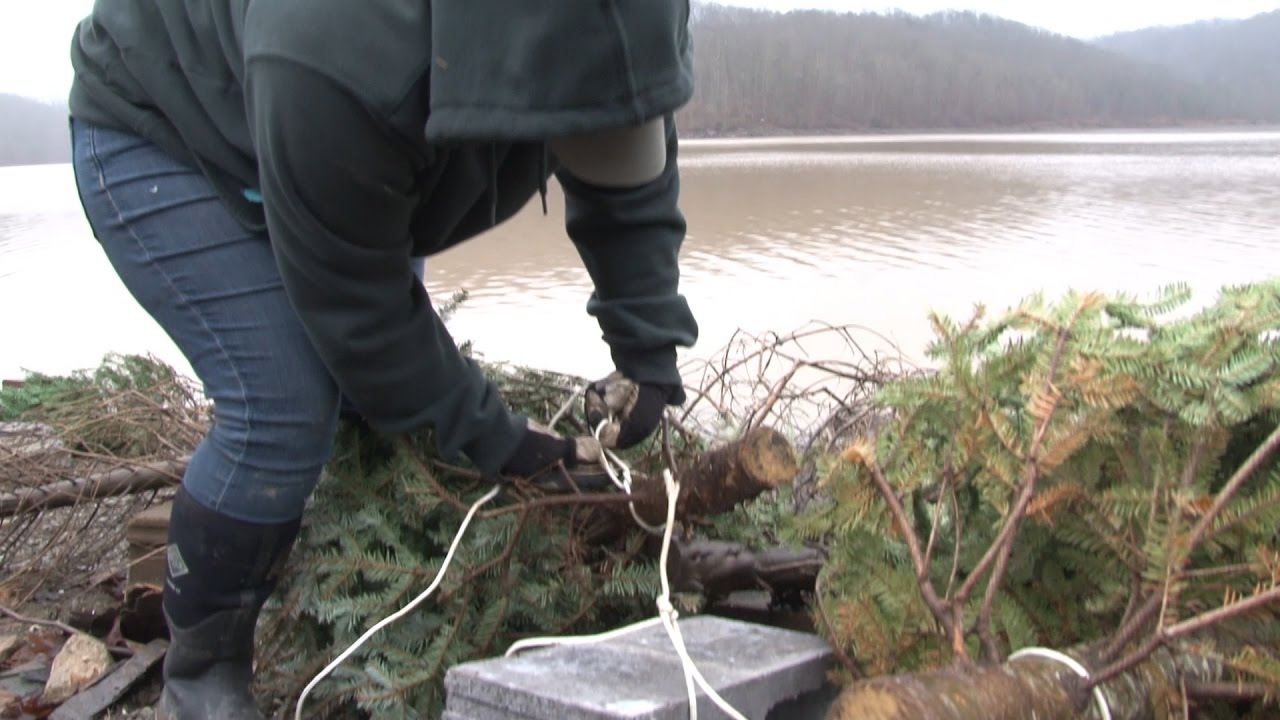 Recycled Christmas Trees Improve Fish Habitat