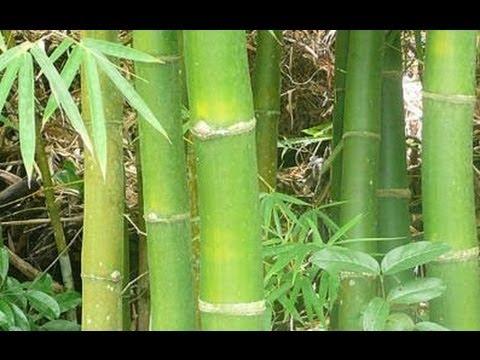 Propiedades y Beneficios Curativos del Bambu
