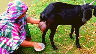 How to milk a goat by hand | Milking goat by woman | Traditional way to milk goat Live goat milking