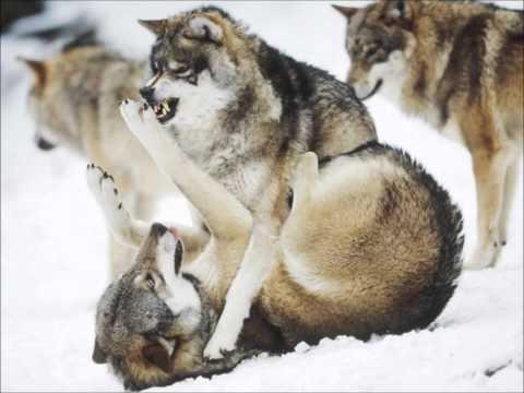 Wolf - Native American -