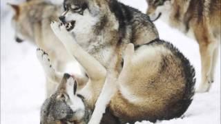 Wolf - Native American Music-