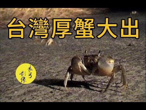 台灣厚蟹大出
