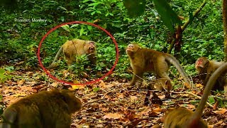 OMG! What's Wrong All These Monkeys Why They Fighting Old Monkey Like That They All In Charles Group