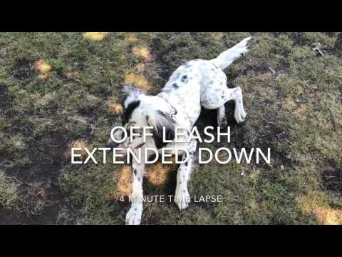 6-Month Old English Setter, Edith! Off Leash English Setter Training | Off Leash K9