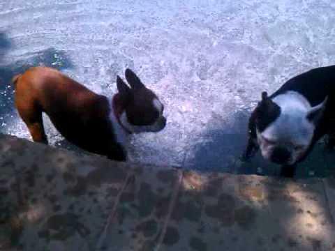 Boston Terriers Clementine & Hogwarts Play In Pool