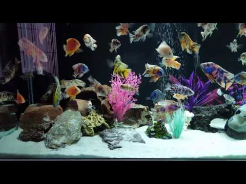 240 gallon African cichlid tank reveal