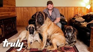 my-monster-mastiff-weighs-250lbs-truly
