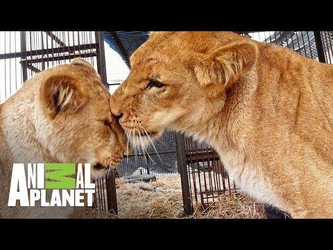 Reencuentro De Una Mamá Leona Con Sus Cachorros | The Dodo: En Busca De Héroes | Animal Planet