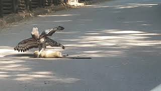 Crowned Eagle with fresh kill