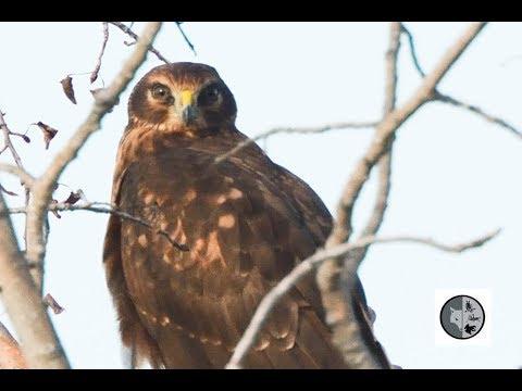 Oiseaux de proie du Québec: Busard St-Martin