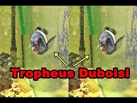 Tropheus Duboisi Çiftleşmesi, Mustafacan'ın Akvaryumundan !