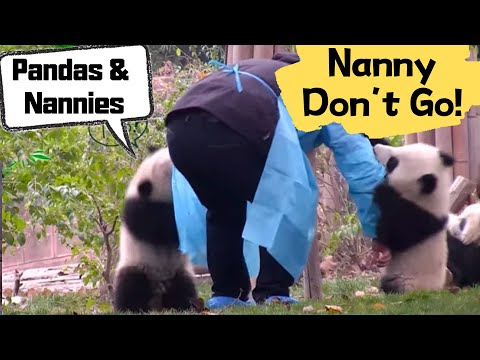 Panda cubs won't let keeper mom go