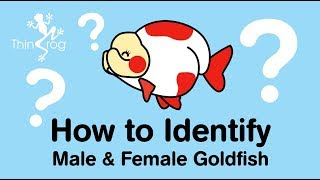 How to identify male and female Goldfish