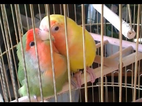 Lovebirds preen each other, Love birds kissing part 1