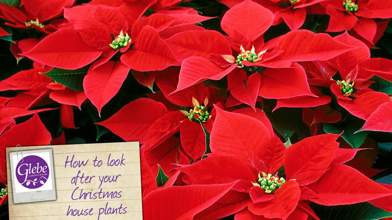 How To Look After Your Christmas House Plants