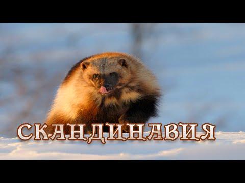 Дикая природа Скандинавии. Удивительная природа, дикие животные. #Документальный фильм.  Швеция. - Видео онлайн
