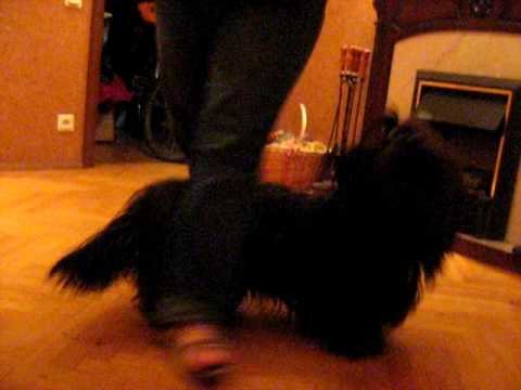 skye terrier Gold Monarch Nautica  LILA, clicker training  3