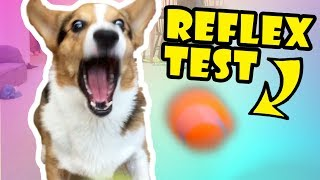TESTING MY DOG'S REFLEXES -- Corgis FTW! || Life After College: Ep. 554 thumbnail