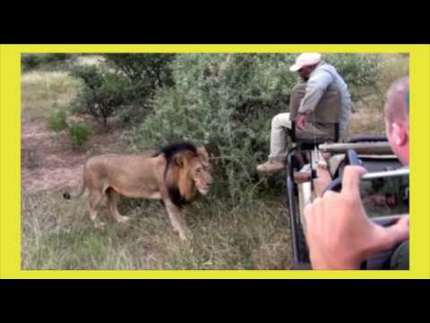 Safari guide's close encounter with African lion