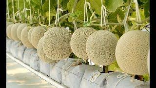 WOW! Agriculture Technology - Rockmelon