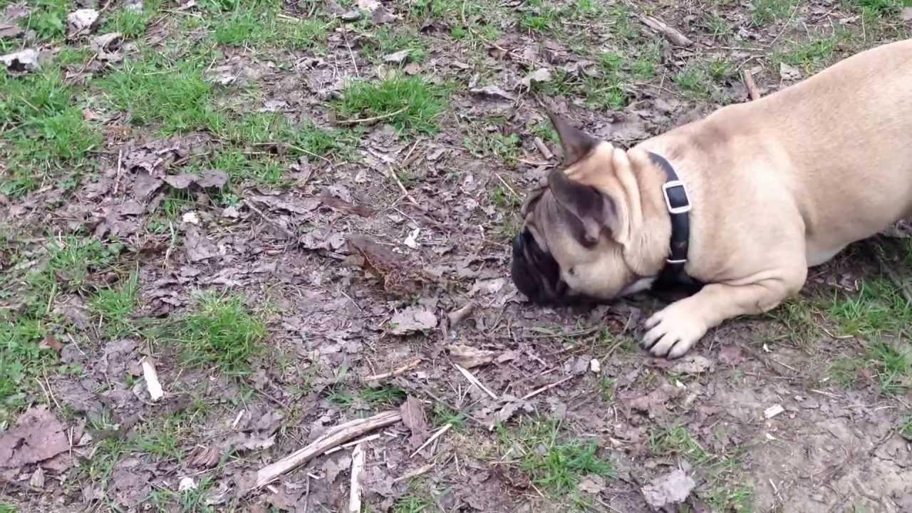 Buldog francuski i żaba