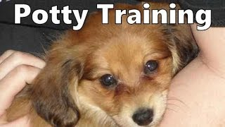 How To Potty Train A Dameranian Puppy - Dameranian House Training - Housebreaking Dameranian Puppies