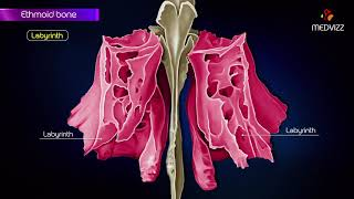 Ethmoid bone anatomy  - Head and neck Animated osteology