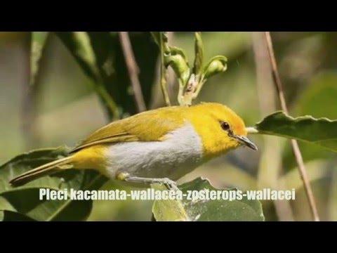 PLECI - 24 Jenis Burung Pleci Kacamata - Zosterops  INDONESIA