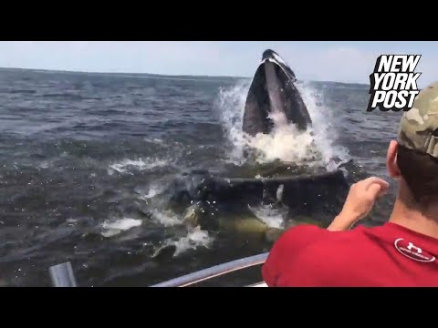 Giant whale breaches mere inches from New Jersey boaters | New York Post