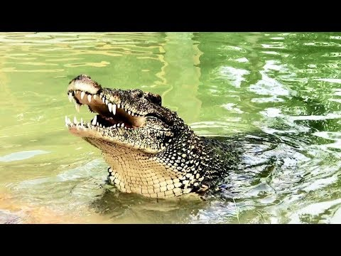 Who Would the Crocodile Eat First?  Cuban Crocodiles!