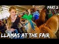 Showing Llamas at the Fair (Part 2)