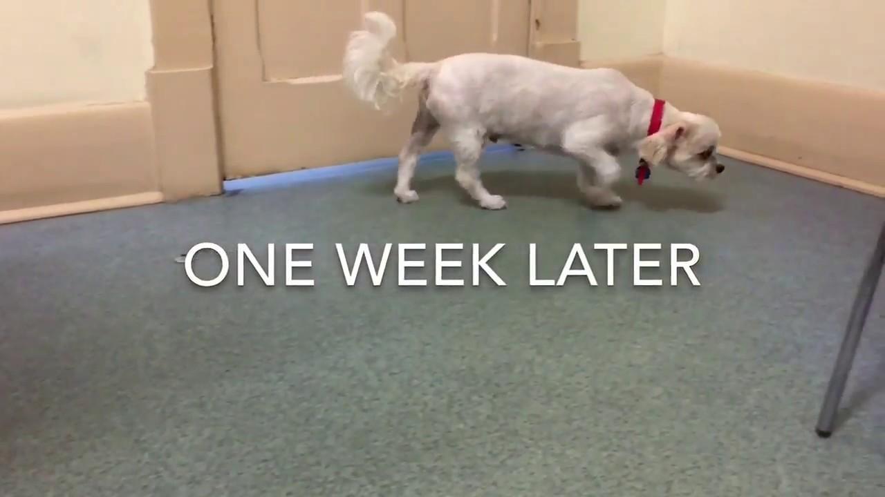 Intervertebral Disk Disease | Bad Back In Dogs | Walkerville Vet