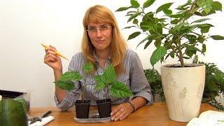 видео Выращивание садового гибискуса и уход за ним