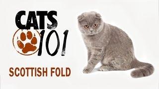 Шотландская вислоухая кошка скоттиш фолд