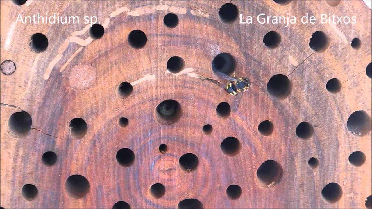 """Download """"HOTEL"""" DE INSECTOS 3: Abejas solitarias (Anthidium florentinum), polinizadoras."""