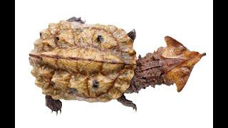 Черепаха Матамата Бахромчатая черепаха