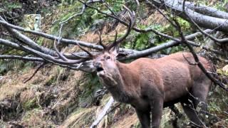 Il bramito del cervo in Val di Susa - The belling of the deer in Val di Susa