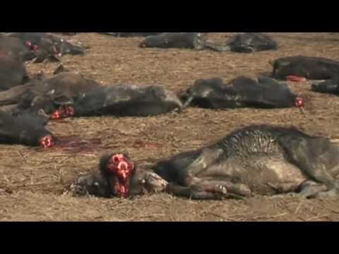 Sacrifice at Gadhimai Festival