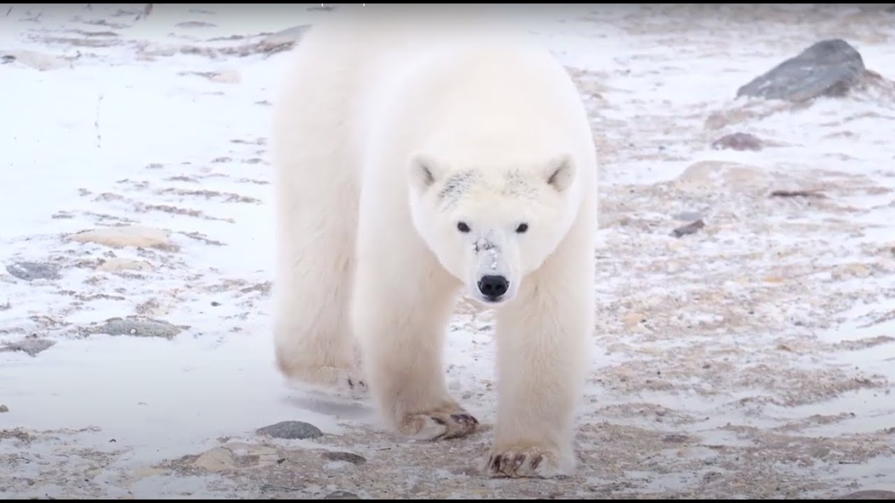 GBJ reports: The town with more polar bears than people