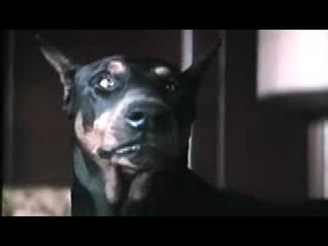 Eyes of an Angel - Angel (Doberman Pinscher)