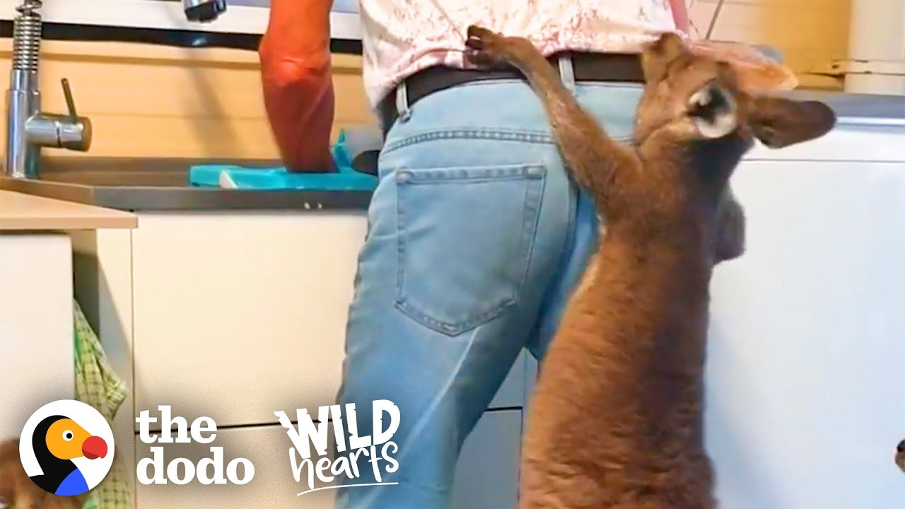 Family Of Rescue Kangaroos Act Like Toddlers | The Dodo Wild Hearts
