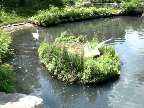 Angry Swans clearing a swank nest at Lincoln Park Zoo