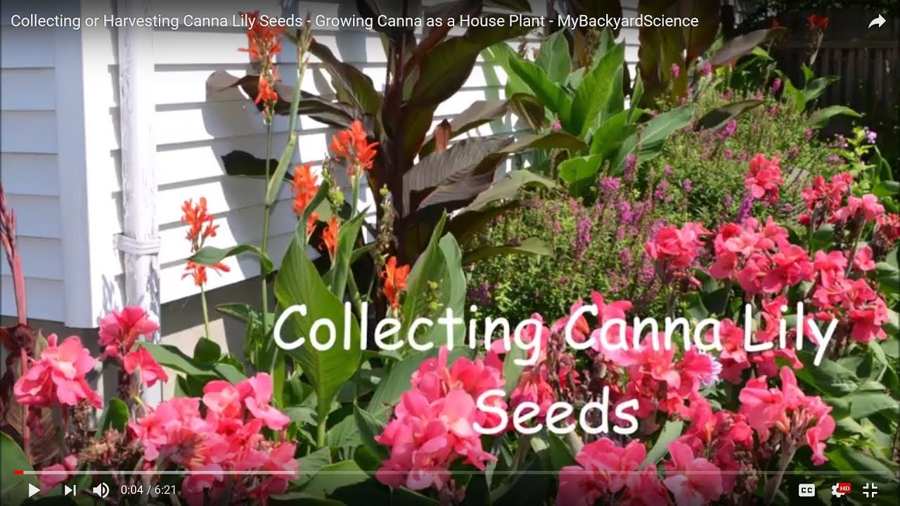 Collecting Or Harvesting Canna Lily Seeds Growing As A House Plant Mybackyardscience